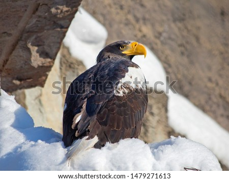 Steller's sea eagle.  Steller's eagle is one of the largest and most beautiful birds in the world. This is a very large bird: the total length of 105-112 cm, wing length 57-68 cm, weight 7.5—9 kg.