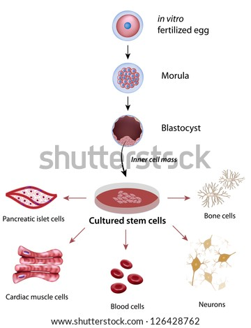 Stem cells cultivation and differentiation