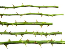 stem of rose bush with thorns on an isolated white background