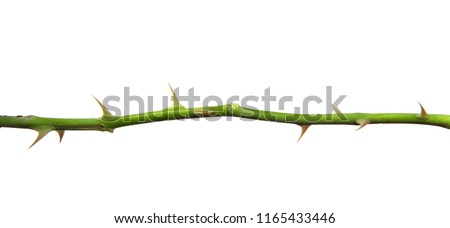 stem of rose bush with thorns on an isolated white background Stockfoto ©