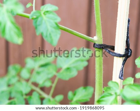 Stem of Tomato Plant Tied to a Stake Closeup Сток-фото ©