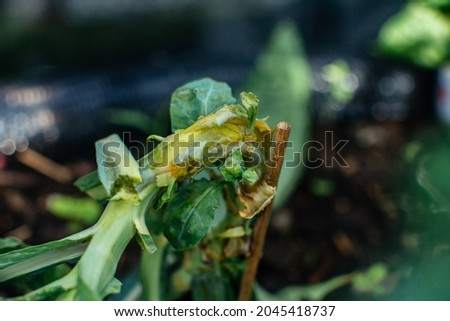 Stem rot caused by the Phytophthora root and stem rot on kale. Photo stock ©