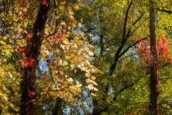 Stems of different climbing plants with varicolored autumn leaves twine along the trees trunks in forest