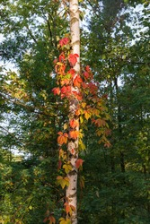 Stems of maiden grapes with varicolored autumn leaves twine along the birch trunk in morning forest