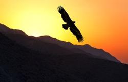 Steppe Eagle (Aquila nipalensis) flying along mountain ridge at sunset, Uzbekistan