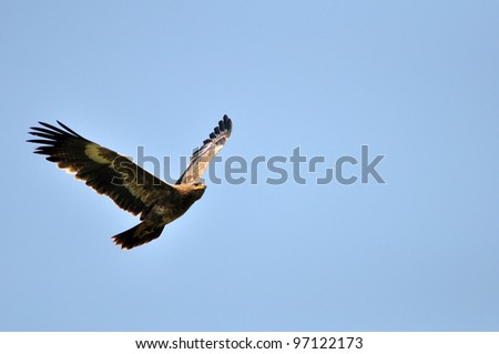 Steppe Eagle bird showing wing spread