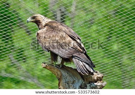 Steppe Eagle (lt. Aquila nipalensis) Stock fotó ©