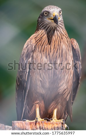 Steppe eagle proudly perched on a branch and looks closely. Aquila nipalensis Foto d'archivio ©