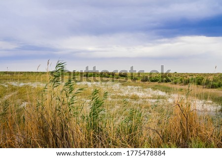 Steppe in the summer. Steppe lake. Swamp in the steppe. Clouds on the blue sky. Green reeds. Green grass. Wetland plants. Wetland. Wild geese