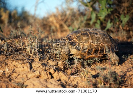 Steppe tortoise (Testudo (Agrionemys) horsfieldii) in their natural habitat