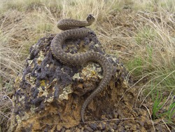 Steppe Viper on a stone basking in the sun. The steppe Viper or Western steppe Viper (Vipera ursinii) is a species of venomous snake in the genus of true vipers.