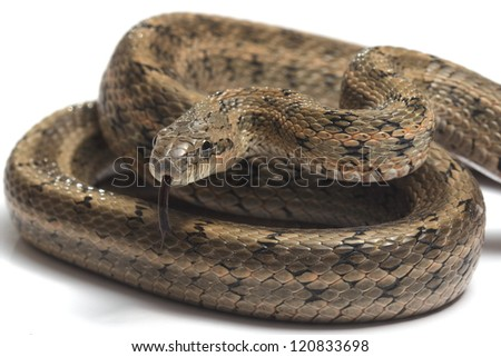 Steppes Ratsnakes (Elaphe dione) over white background
