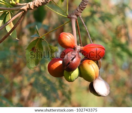 Sterculiaceae fruit on tree,  (Biodiesel)
