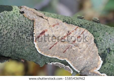 Stereum rugosum, known as bleeding broadleaf crust, wild fungi from Finland
