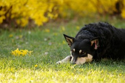 Sterilized dog.A stray mongrel dog in the park lies on the grass. A wandering mongrel with a sad face. Selective soft focus. Background yellow bush.