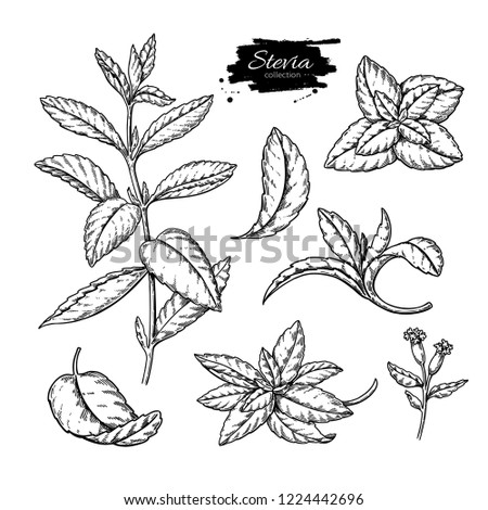 Stevia  drawing. Herbal sketch of sweetener sugar substitute. Vintage engraved illustration of superfood. Hand drawn icon for label, poster, packaging design.