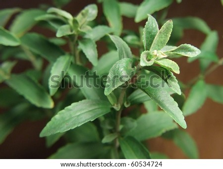 Stevia or the sugar plant