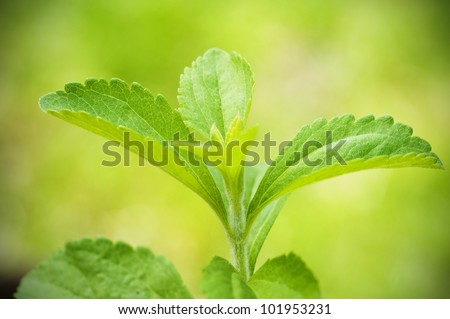 stevia rebaudiana branch close up over a green background