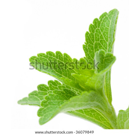 Stevia Rebaudiana - natural sweetener close up