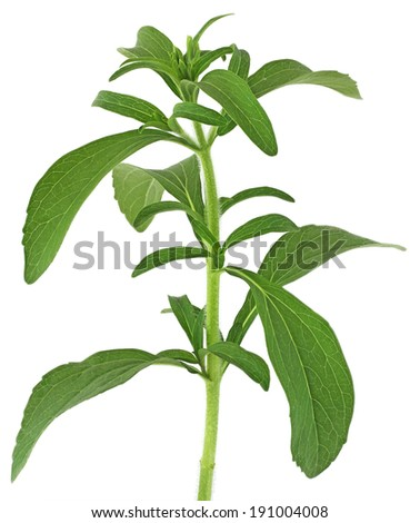 Stevia rebaudiana, sweet leaf plant, sugar substitute isolated on white background