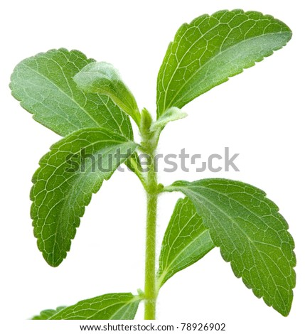 Stevia rebaudiana, sweet leaf sugar substitute isolated on white background #78926902