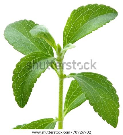 Stevia rebaudiana, sweet leaf sugar substitute isolated on white background #78926902