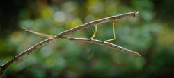 stick bug on a stick