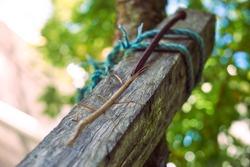 stick bug upon wood beam walking towards tree, phasmatodea, stick insect  natural camouflage