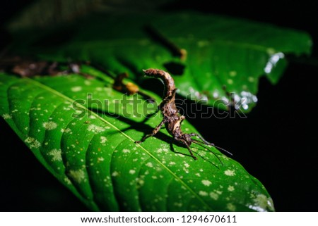 Stick insect in Tabin Wildlife Reserve, Sabah, Borneo, Malaysia