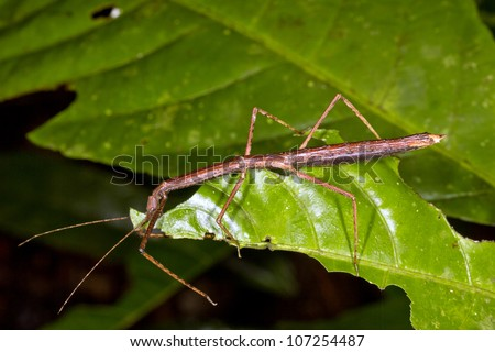 Stick insect on a leaf in the rainforest understory, Ecuador
