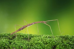 Stick insect or Phasmids (Phasmatodea or Phasmatoptera) also known as walking stick insects, stick-bugs, bug sticks or ghost insect. Stick insect camouflaged on moss. Selective focus, copy space