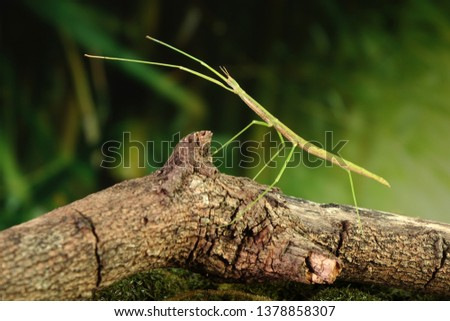 Stick insect or Phasmids (Phasmatodea or Phasmatoptera) also known as walking stick insects, stick-bugs, bug sticks or ghost insect. Green stick insect camouflaged on tree branches. Selective focus