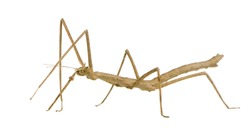 stick insect, Phasmatodea - Medauroidea extradentata in front of a white backgroung
