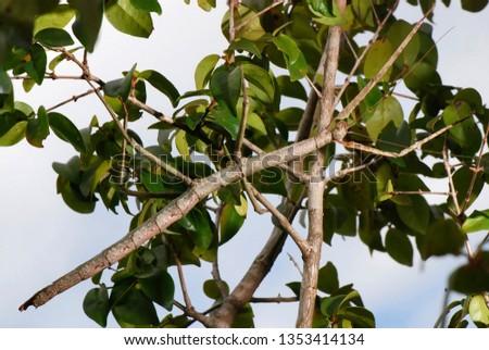 Stick insect photographed in Guarapari, Espirito Santo - Southeast of Brazil. Atlantic Forest Biome. Picture made in 2007. #1353414134