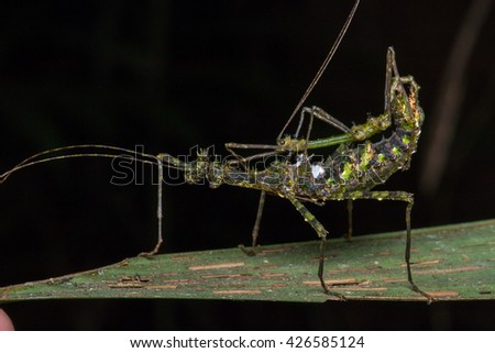 Stick Insects of Borneo , Mating Stick Insects , Stick Insects Mating  #426585124