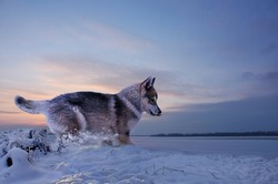 sticking out his tongue out of zeal, a funny puppy runs in the snow along the river bank against the backdrop of sunset