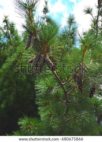 sticky  icky sap pine trees.