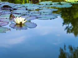 Still blue water and white water lily in the pond