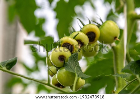 Still green, unripe, young tomato fruits affected by blossom end rot. This physiological disorder in tomato, caused by calcium deficiency, looks like watering and rotting spot forming under the fruit. Photo stock ©