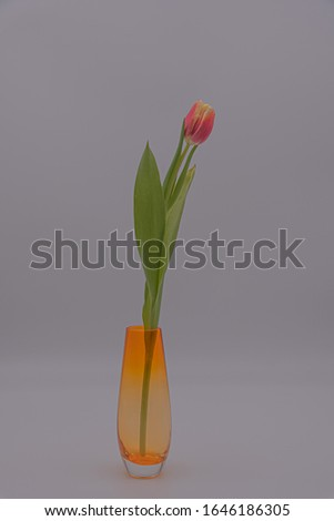 Still life of a single small pink and yellow tulip in an orange vase.