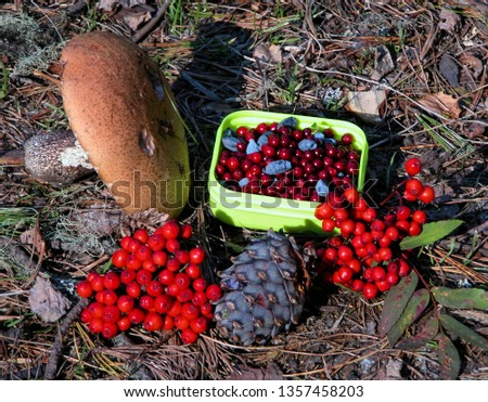 Still life of orange-cap boletus, pine cone, honeysuckle,  rowanberry and cowberry on on the ground in the siberian forest. Altai, Siberia Russia #1357458203