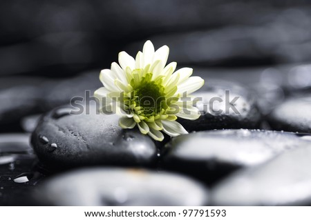 Still life white chamomiles on pebbles