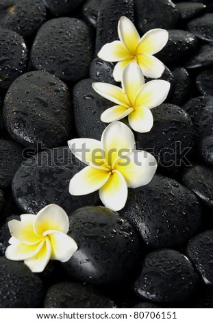Still life with four frangipani on black peddles - stock photo