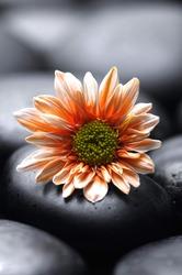 Still life with gerbera flower on black pebbles