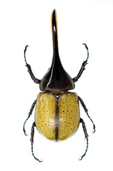 Still photo of the hercules beetle, Dynastes hercules