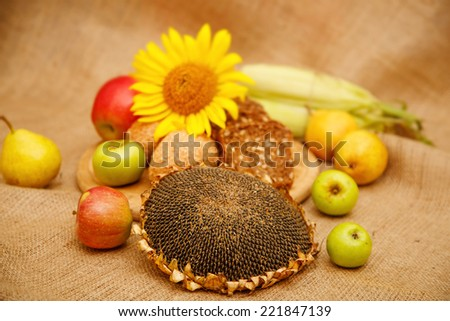 Still, the composition of different kinds of apples, pears, corn, sunflower and bread. Autumn harvest of fruits and vegetables piled on the table. Apples of various colors, red, green, yellow fruit.