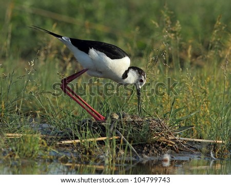 Stilt (Himantopus himantopus)  with his nest, with eggs 2.
