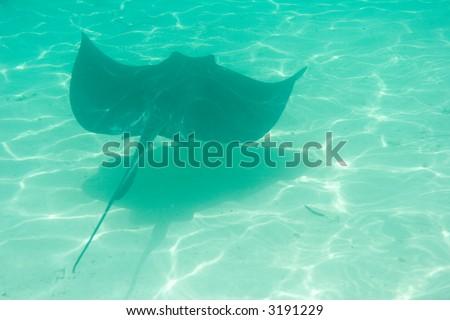 Sting Ray - stock photo