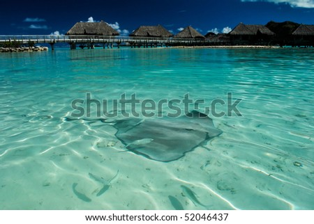 Sting Ray swimming in the Bora Bora lagoon with over water bungalows in the background