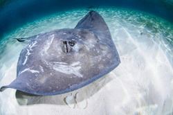 Sting Ray Swimming on Sandy Bottom of Bahamas